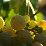 Uvas blancas para cava